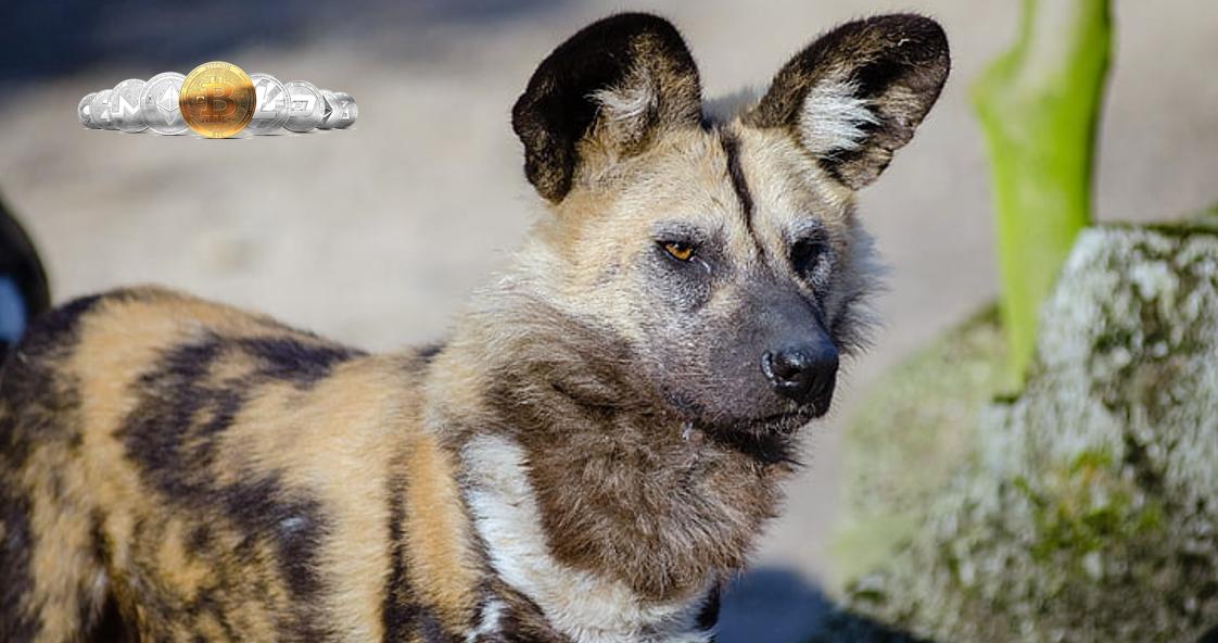 環保主義者設加密基金 籌資拯救非洲納米比亞野狗