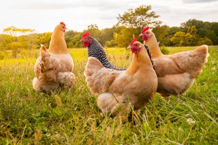 Pollofeed.com網站可通過比特幣閃電網絡支付 遠程餵雞